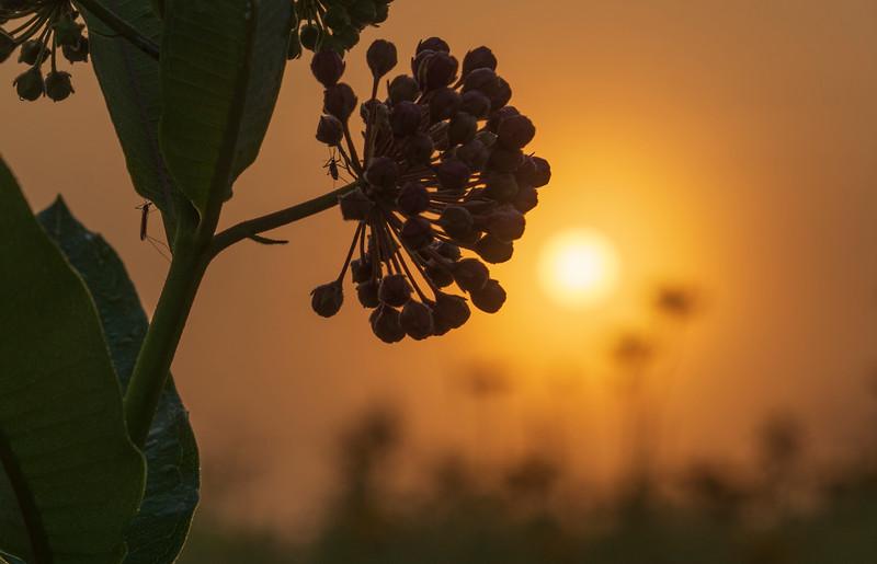Sunrise-SpringfieldBog-July4b.jpg