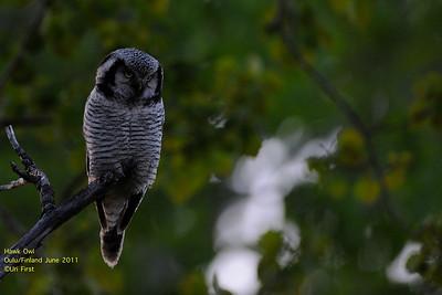 Adult Owls