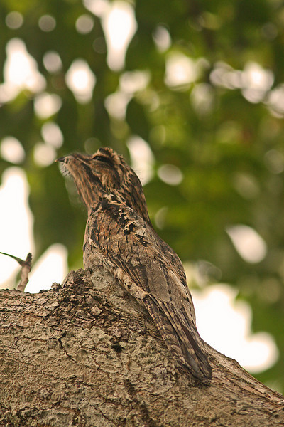 Great Potoo well camouflaged in Osa Peninsula, (road to Puerto Jimenez)