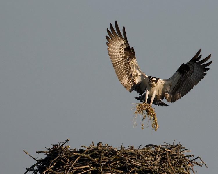 Osprey Feathering Nest.jpg