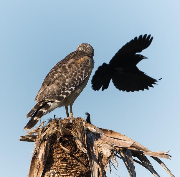 RS Hawk & Grackle-3934.jpg