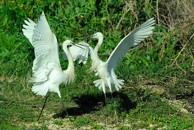 Great Egrets Fight