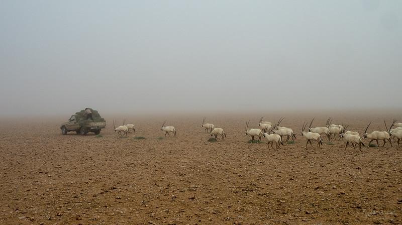 Arabian Oryx (86).jpg