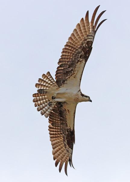 osprey 520a.jpg