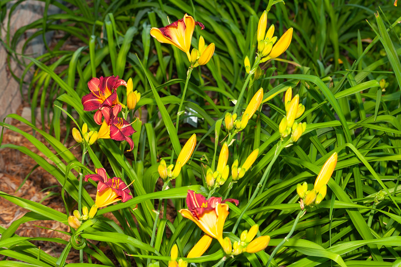 20190707 Daylilies and Annual-6217.jpg