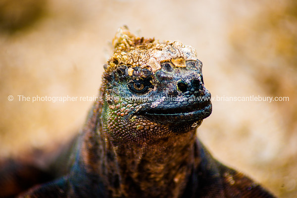 """Wildlife, landforms & landscapes of the Galapagos Islands.<br /> The Marine Iguana (Amblyrhynchus cristatus) is an iguana found only on the Galápagos Islands, close up.<br />  Photos, prints & downloads SEE ALSO:  <a href=""""http://www.blurb.com/b/3551540-galapagos-islands"""">http://www.blurb.com/b/3551540-galapagos-islands</a>"""