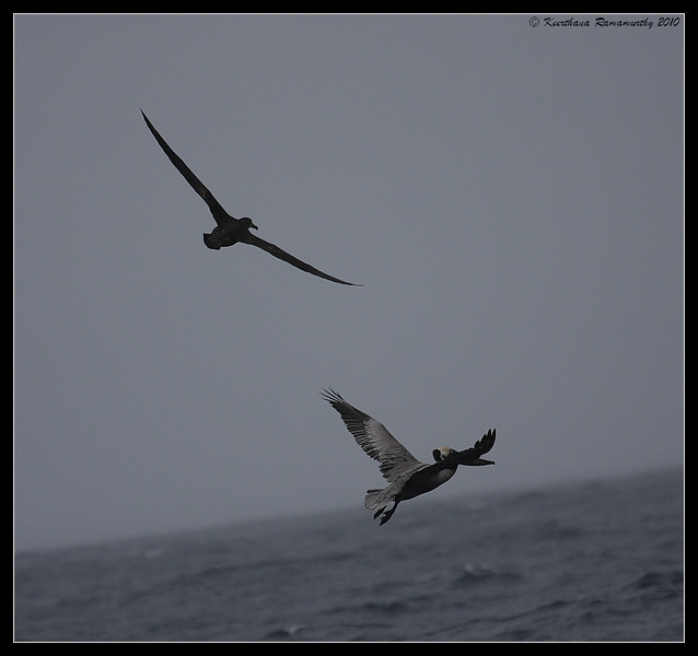 Black-footed Albatross and Brown Pelican for wingspan comparison, Pelagic Trip Pacific Ocean, Islas Coronados, Mexico, March 2010