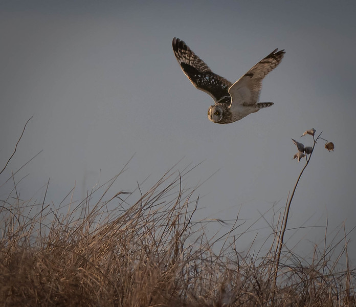Short-eared Owl flying in