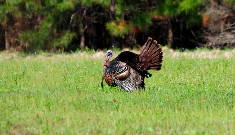Wild Turkey Strutting_9.jpg