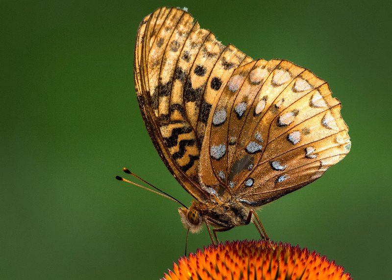 GoldenButterfly.jpg