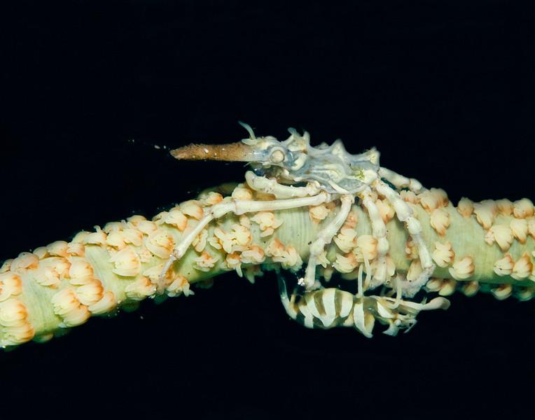 crab xeno and crab.jpg