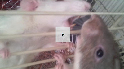 "Are These Two Rats' Behaviors ""Over the Top""?"