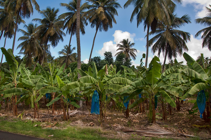 Bananas being grown that will later be harvested.  The blue bags help the fruit develop properly.