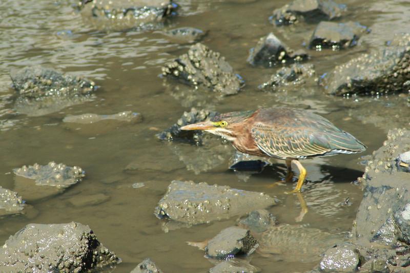 Green Heron (2).JPG