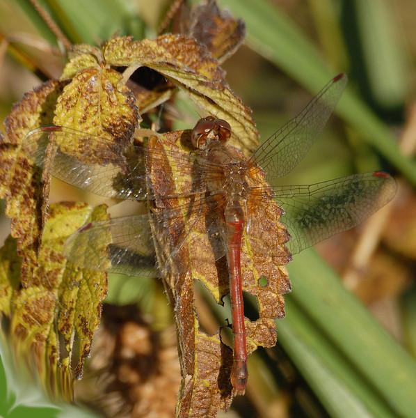 Sympetrum vicinum (Autumn Meadowhawk), GA