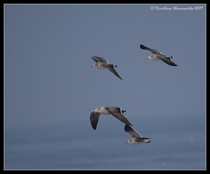 Heermann's Gulls, La Jolla Cove, San Diego County, California, November 2009