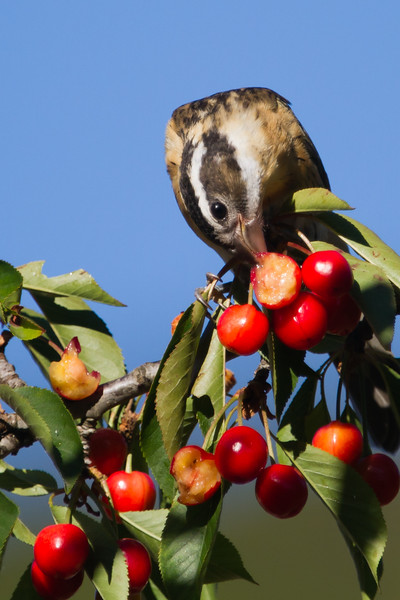 Black Headed Grosbeak - Los Altos, CA, USA