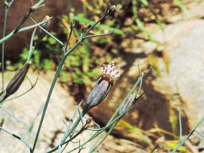 Odora (Porophyllum gracile)