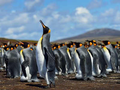 Falklands - Penguins