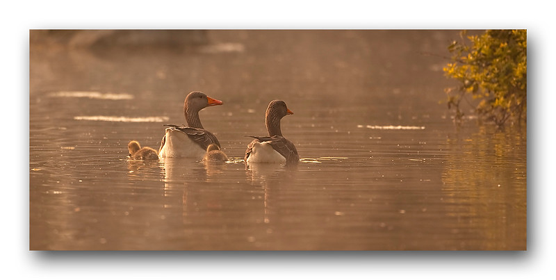 Grey Lag geese 1.jpg