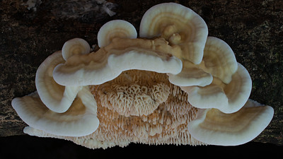 Fomitopsis