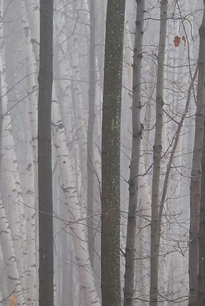 foggy-birches.jpg