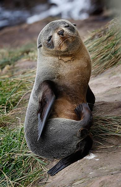 Fur Seal Pup.jpg