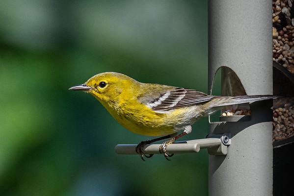 Birds - My Backyard