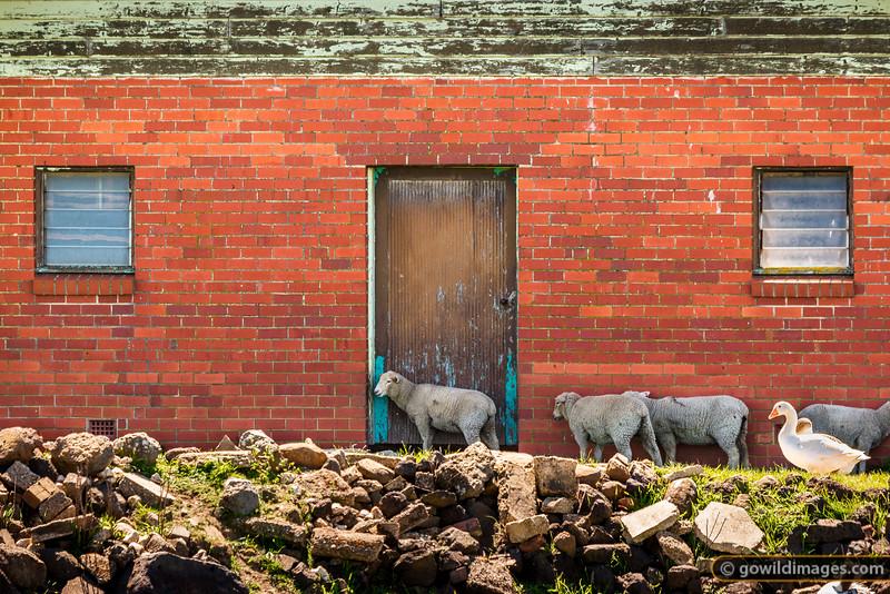 Chilled Lamb