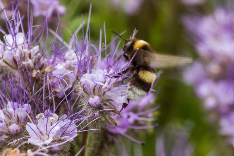 Humler i honningurt