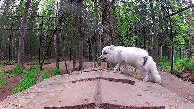 ARCTIC FOX VIDEO