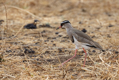 Images of  Birds in Tanzania