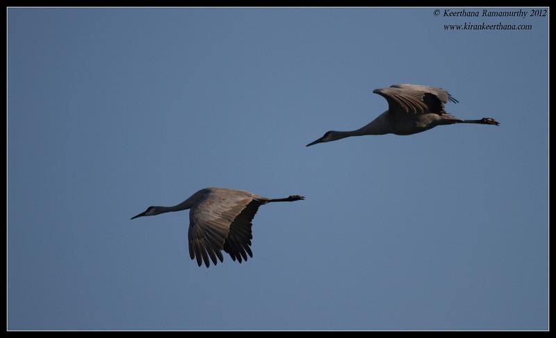 Sandhill Cranes at day break, Cibola National Wildlife Refuge, Arizona, November 2012