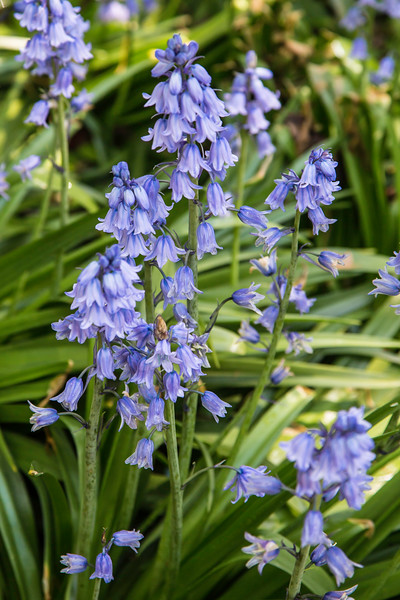 Bluebells, Brooklyn Botanic Gardens