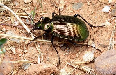 Calosoma schayeri (Carabinae) - Green Carab Beetle