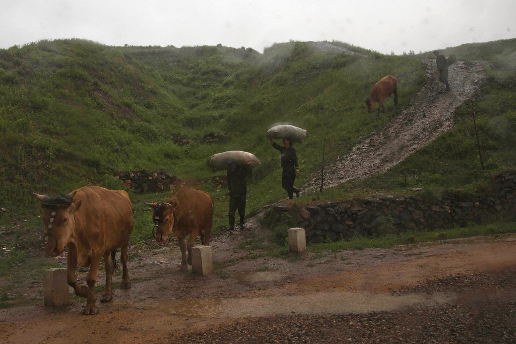 """. In this June 16, 2014 photo, farmers walk in a rainstorm with their cattle near the town of Hyesan, North Korea in Ryanggang province. The Associated Press was granted permission to embark on a weeklong road trip across North Korea to the countryís spiritual summit Mount Paektu. The trip was on North Korea\'s terms.  An AP reporter and photographer couldn\'t interview ordinary people or wander off course, and government \""""minders\"""" accompanied them the entire way. (AP Photo/David Guttenfelder)"""