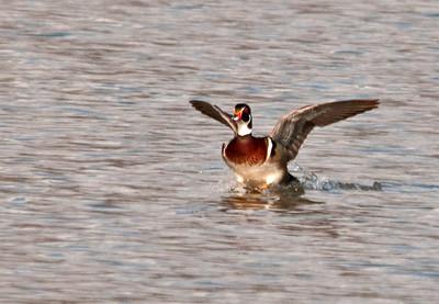 Duck - Wood Duck