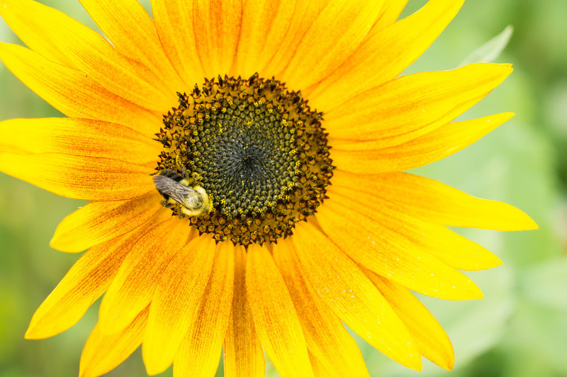 honeybee in sunflower at tudek park.jpg