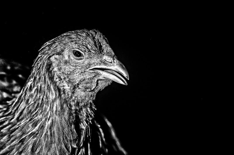 Chickens-SB2_0827-EditPPro-EditPPro-2-EditPPro.jpg