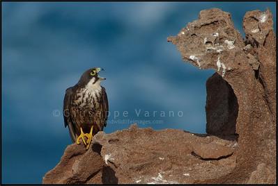 Eleonora's Falcon - Falco della Regina ( Falco eleonorae ) - San Pietro island - Sardinia
