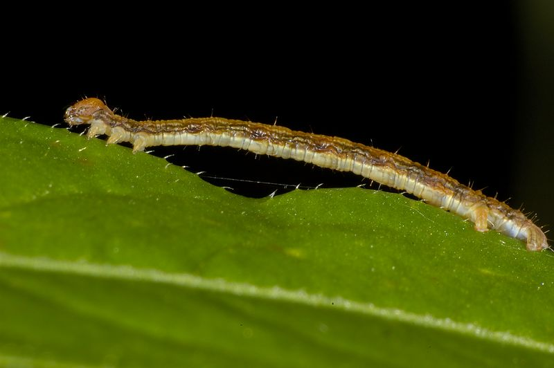 "Inchworm, this small creature is about a half inch long and 1/16"" thick.
