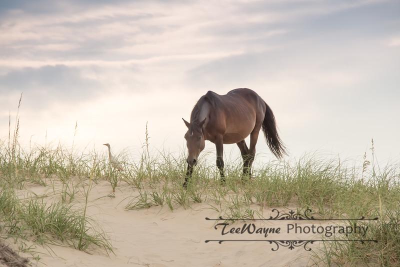 The Wild Horses of Corolla, NC
