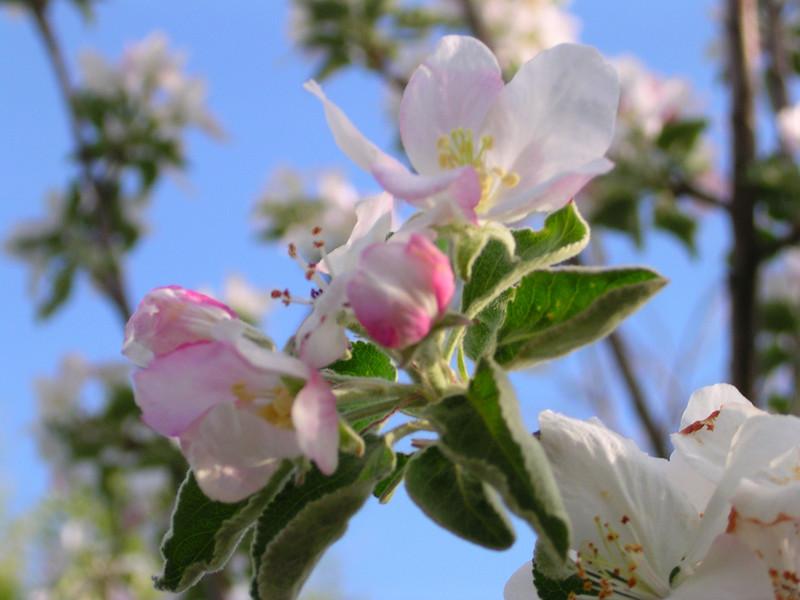 apple801.JPG