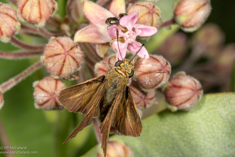 Dun Skipper nectaring Common Milkweed.