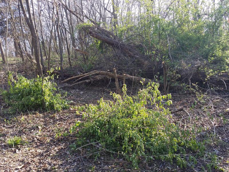 clearing bush honeysuckle and multiflora rose