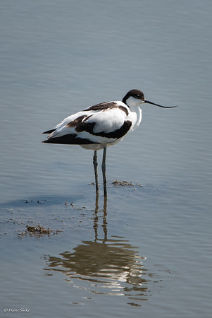 Avocet, Pied (monotypic)