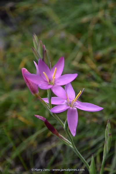 Hesperantha baurii