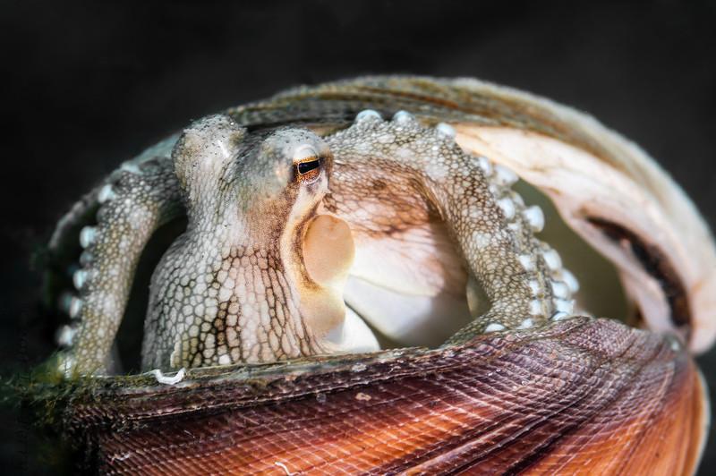 octopus clamshell-9865.jpg
