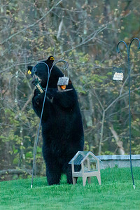 New Bear Pics Leominster  - May 6 2019