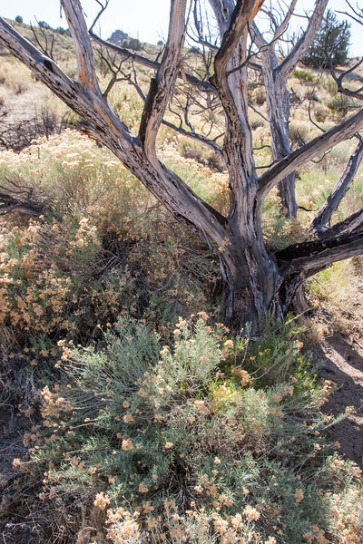 Nevada Sagebrush